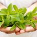 Stevia: El edulcorante natural sin calorías
